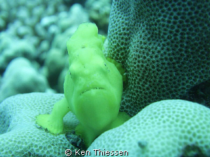 Juvenile Frogfish by Ken Thiessen